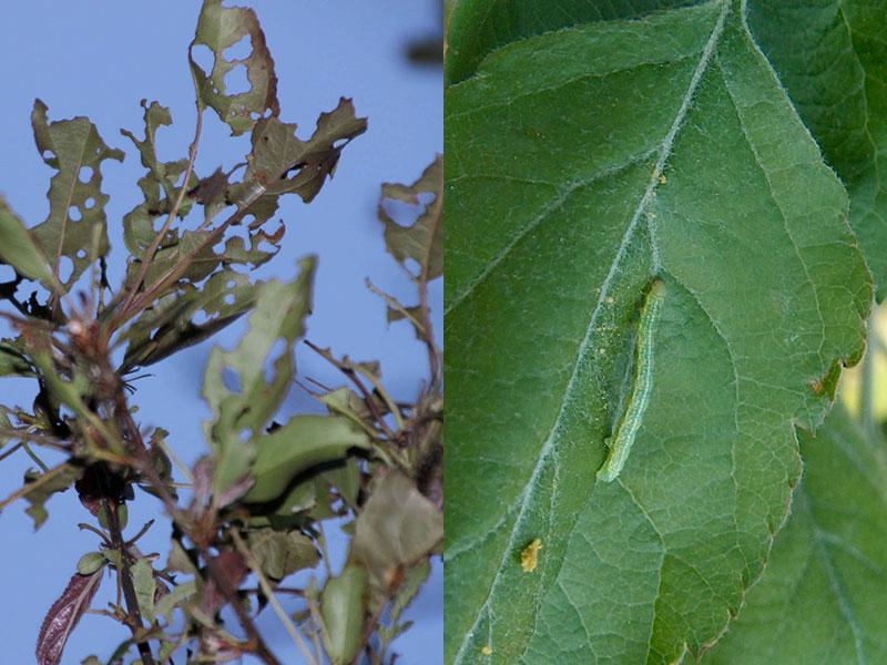 Angrepp av frostfjäril på äppelträd
