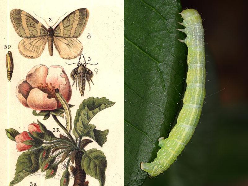 Frostfjäril biologi larv