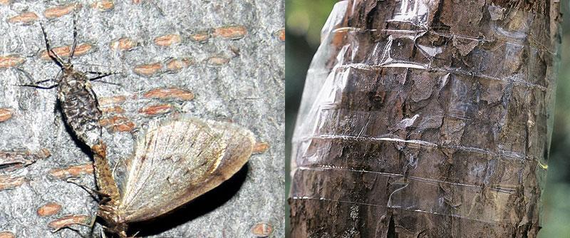 Hane och hona av frostfjäril