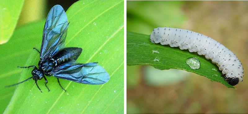 Ramsstekel med larv