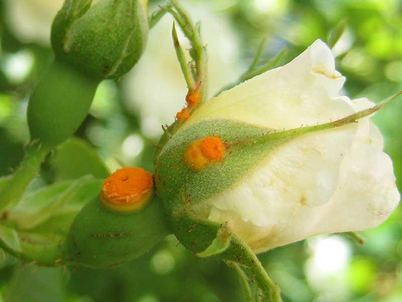Rosrost på blomma