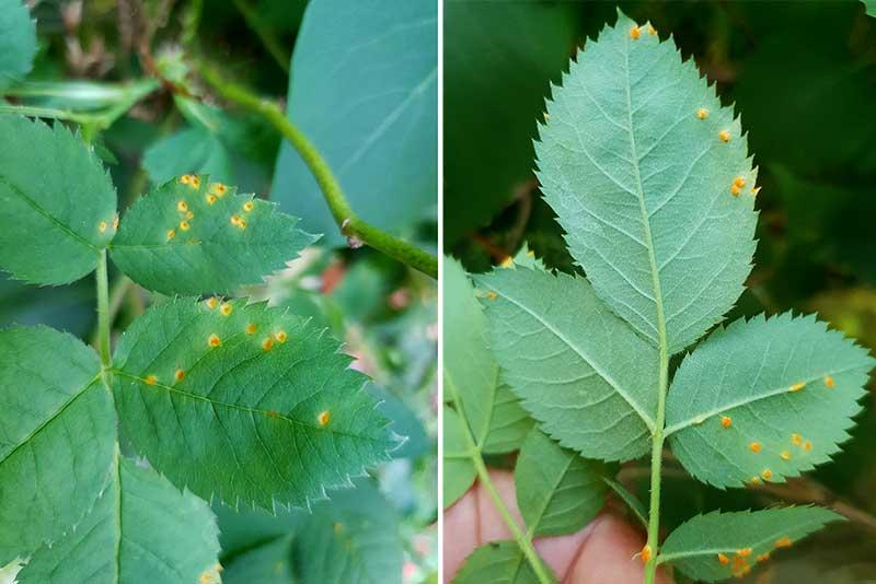 Rosrost med gulorange prickar på bladen