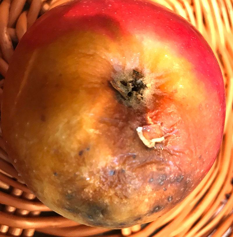 Skador av getingar på äpple