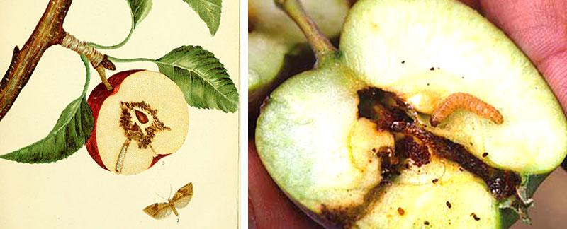 Larv av äppelveckare i äpple