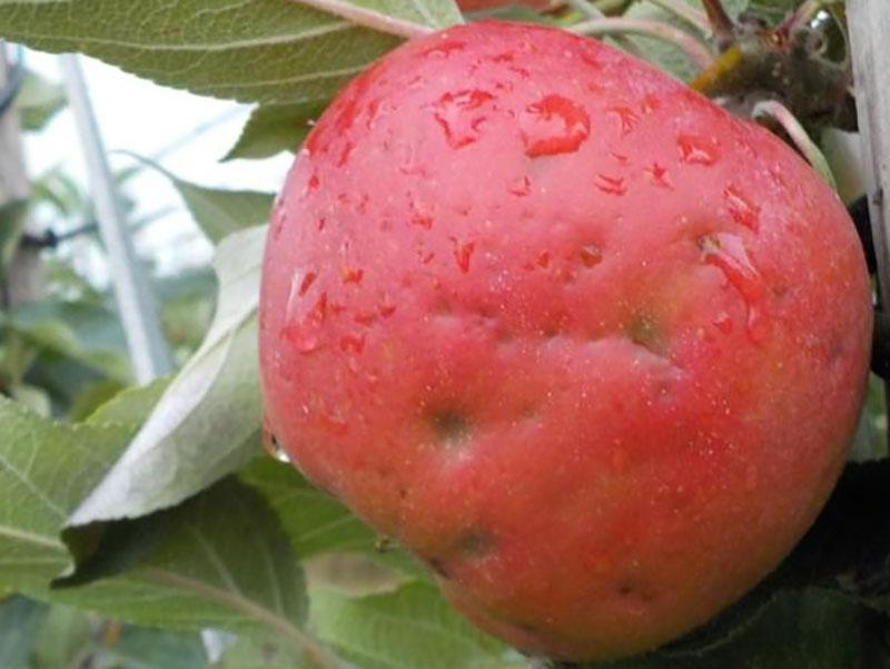 hagelskada på äpple