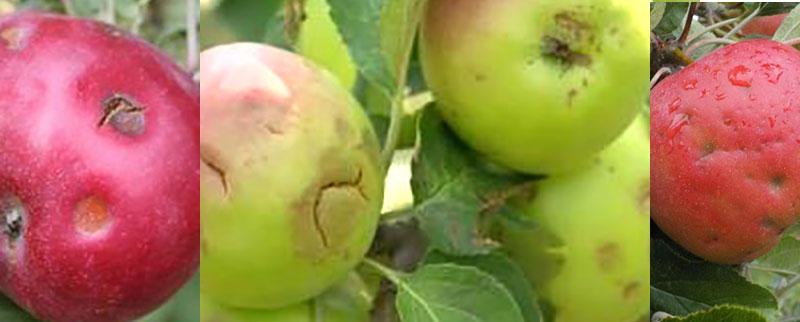 Skador av hagel på äpple
