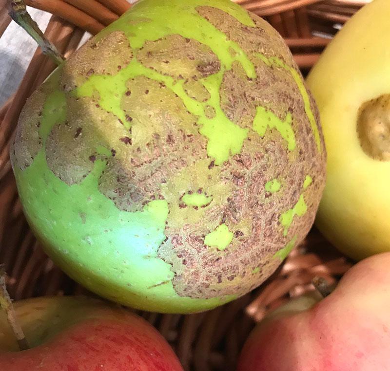 Skada av korkrost på äpple