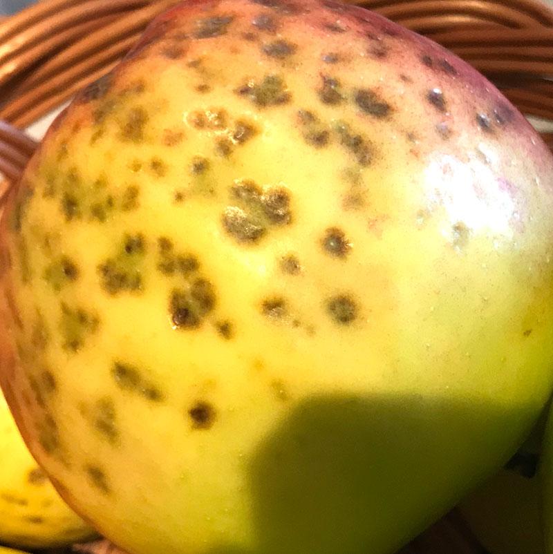 Skada av pricksjuka på äpple