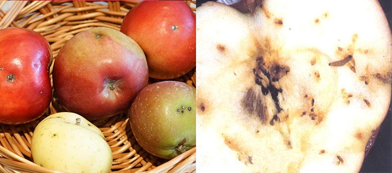 Rönnbärsmal med larv i äpple