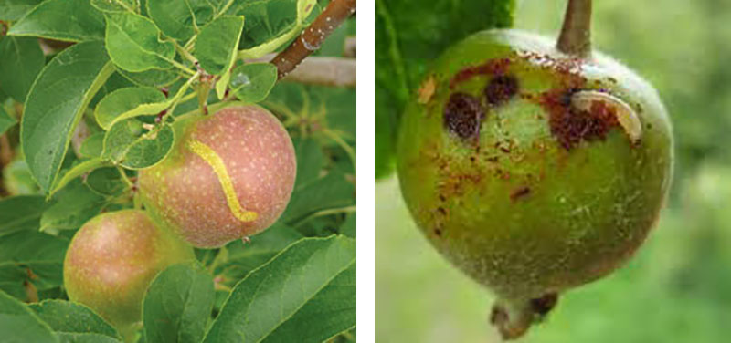 Skador på äpple av äppelstekel