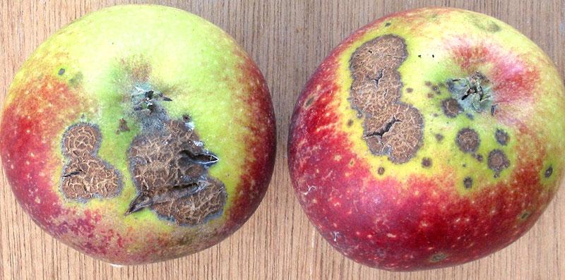 Skorv på frukter av äpple