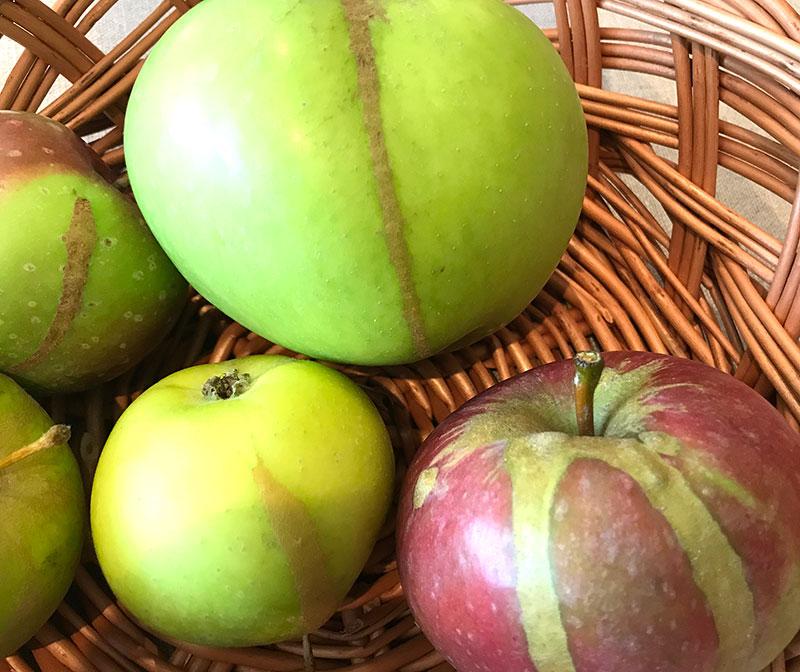 Frostskada på äpple som ger slipsar