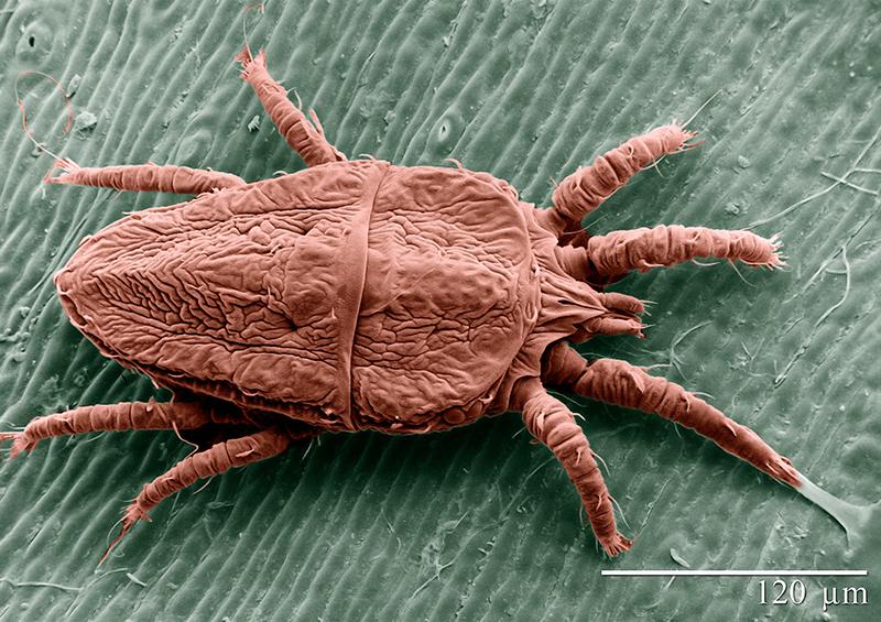 Förstorad bild av falskt spinnkvalster