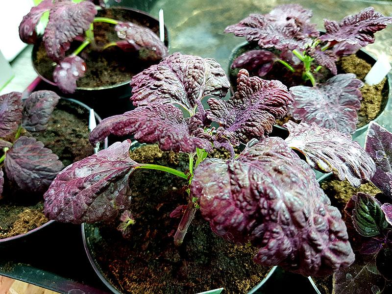 Omplantering av palettblad