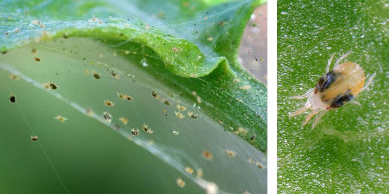 spinn på växter
