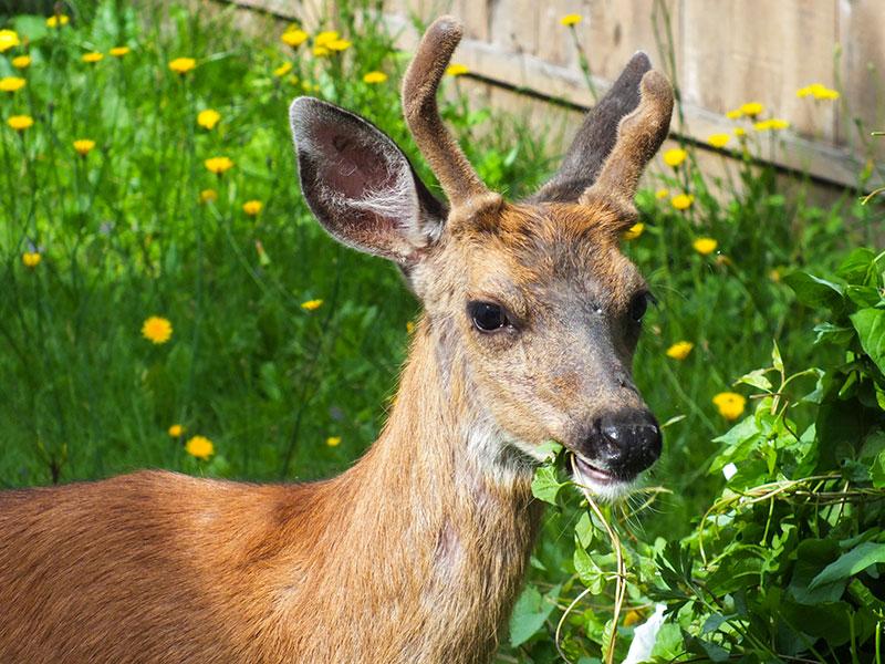Rådjur i trädgården som äter blommor