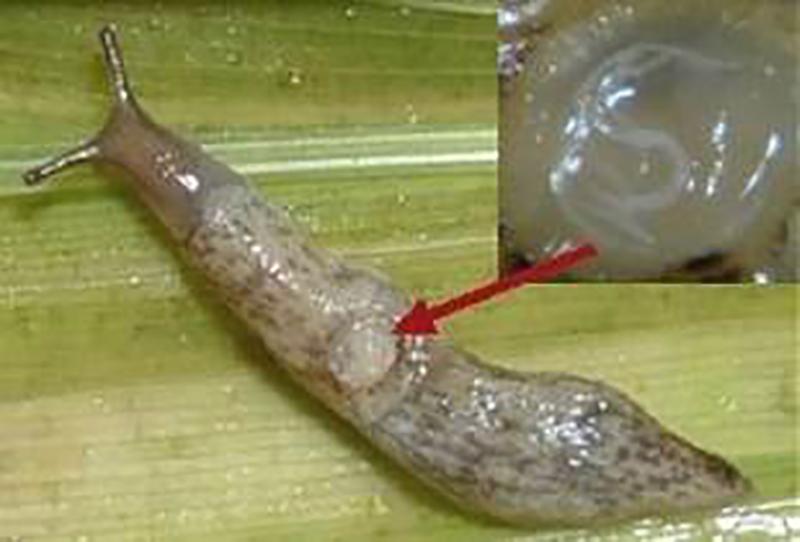 Spansk skogssnigel angrips av nematoder