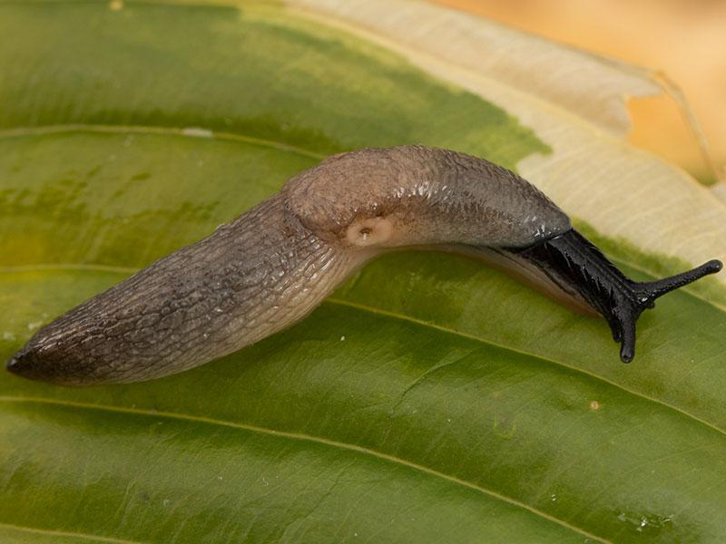 Krynickillus melanocephalus, svarthuvad snigel