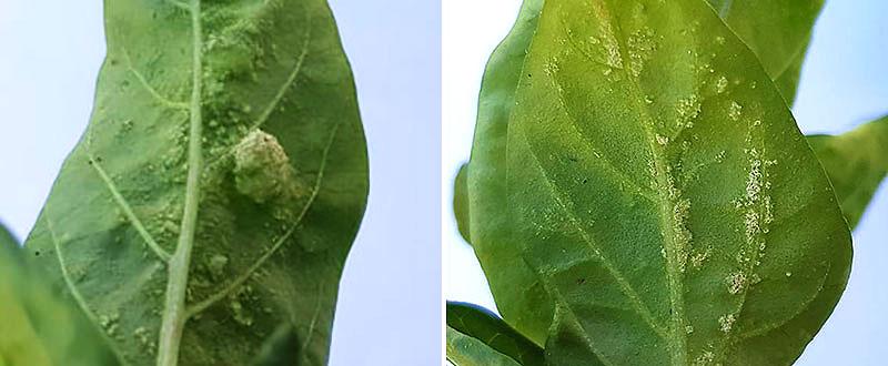 blåsor på undersidan av bladen på chili