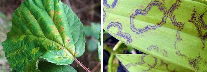 angrepp av virus på blad