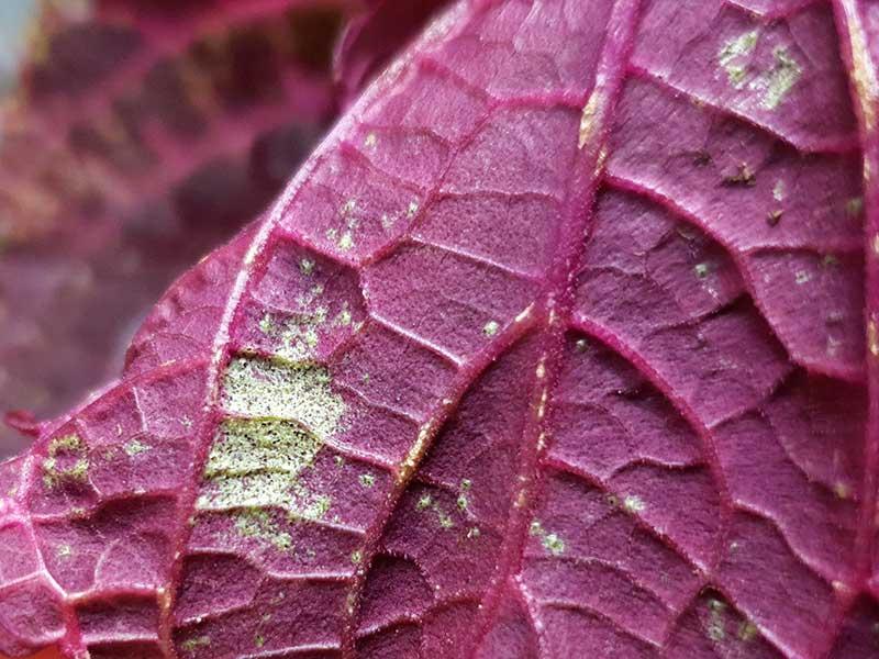 trips angrepp ohyra på palettblad