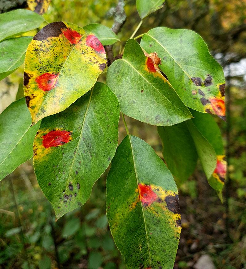 Röda fläckar på päronets blad från päronrost