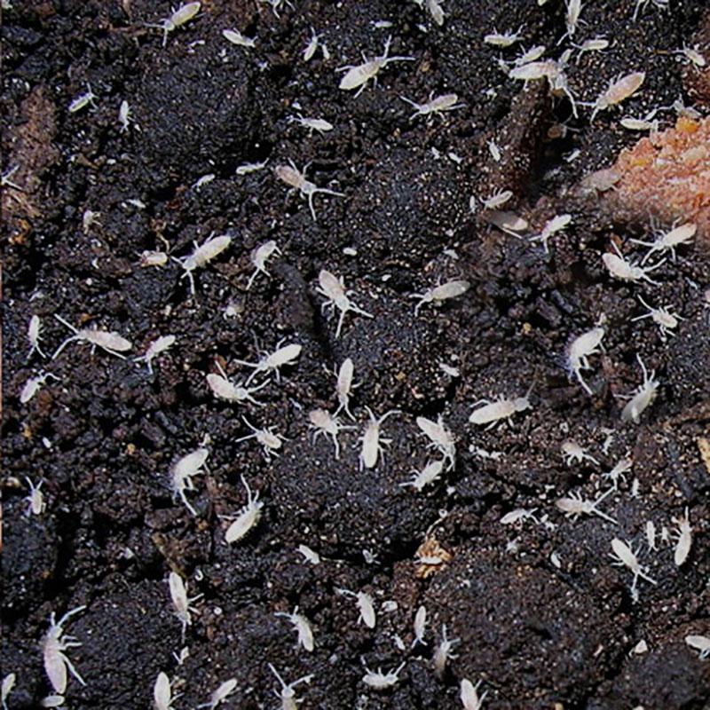 hoppstjärtar i krukväxtjord