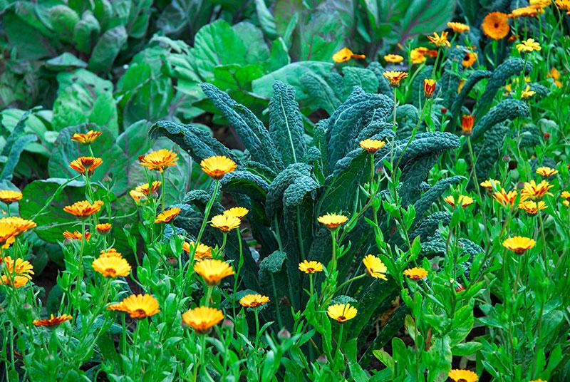 Samodling kålväxter och ringblommor