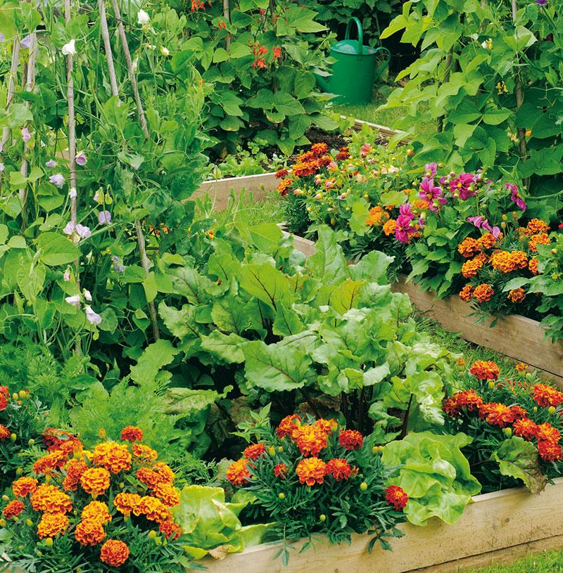 Baljväxter samodlade med sallat, jordgubbar och tagetes