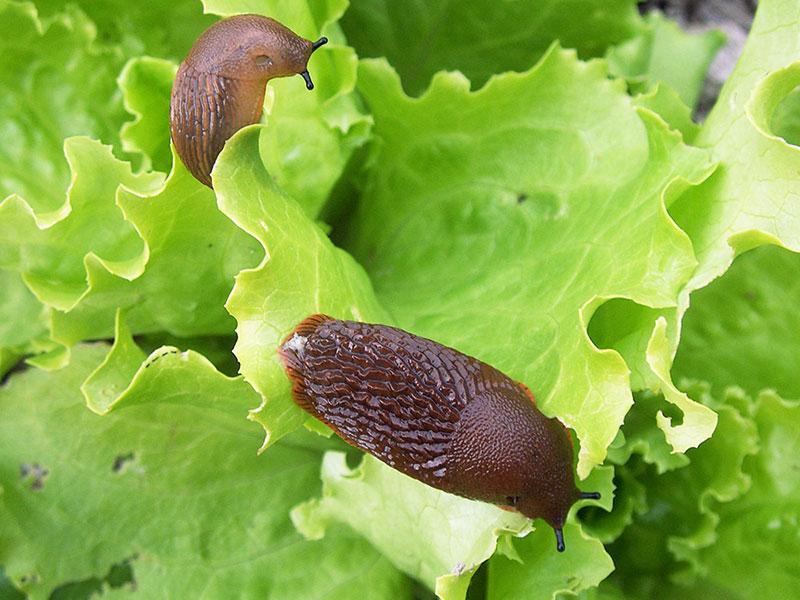 Mördarsnigel spansk skogssnigel som åter salladsblad i trädgård