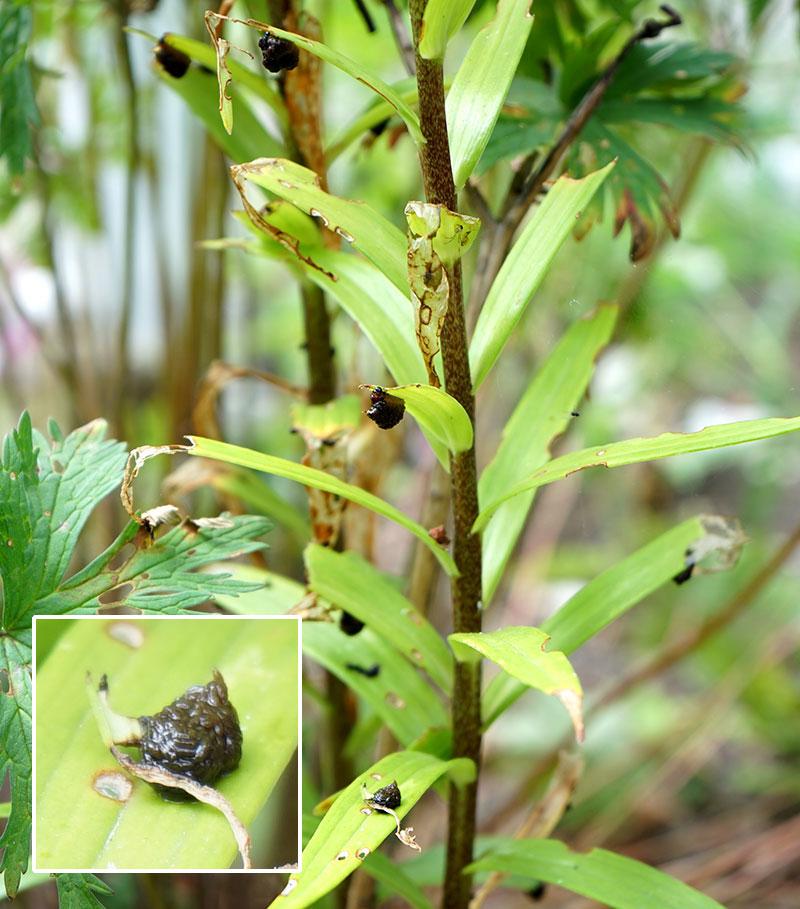 larver-av-liljebaggar-pa-bladens-undersida.jpg