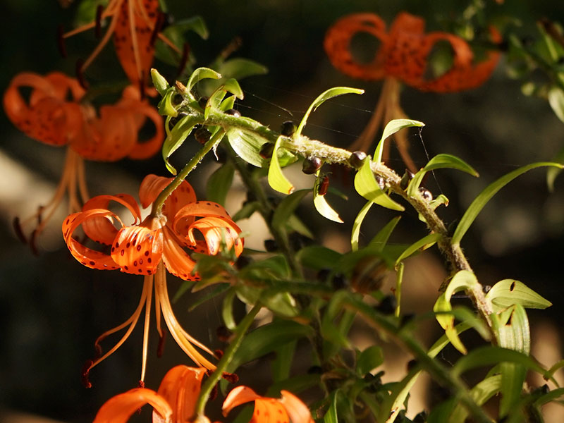 Tigerlilja med liljebagge