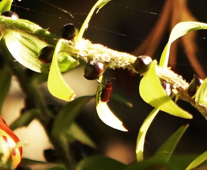Vuxen liljebagge på ett liljeblad