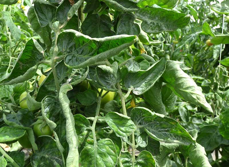 Ihoprullade blad på fullvuxen tomatplanta