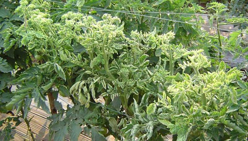 Virus på tomatplantor med ljusgula toppar