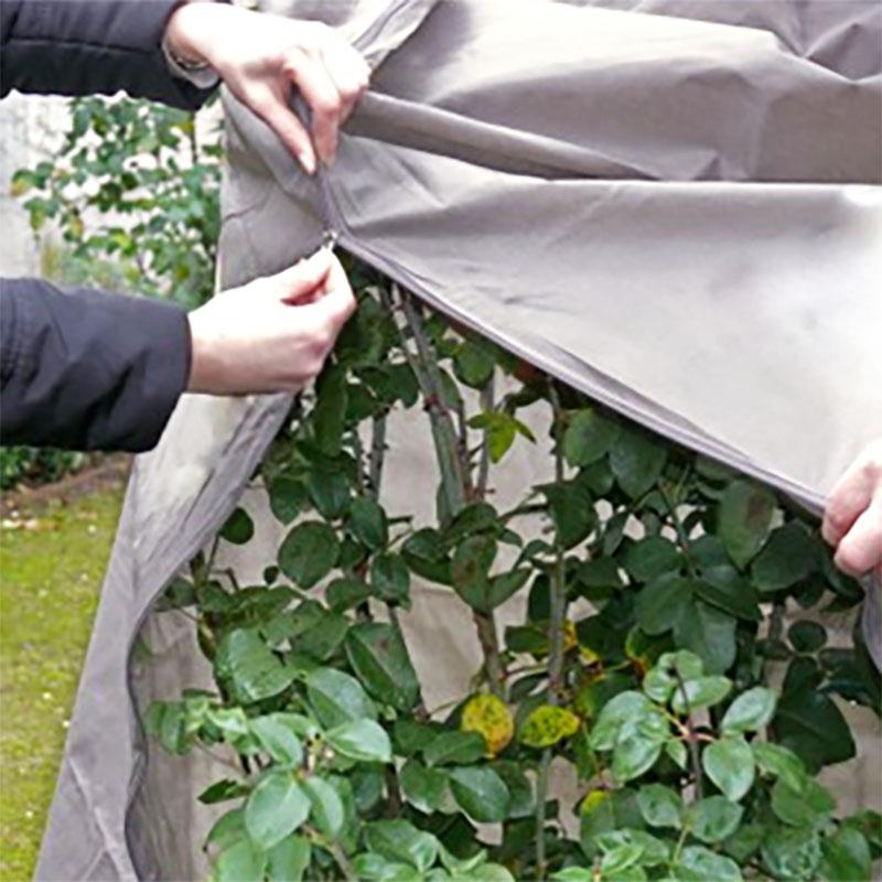 Ros i kruka som skyddas för vintern med täckning