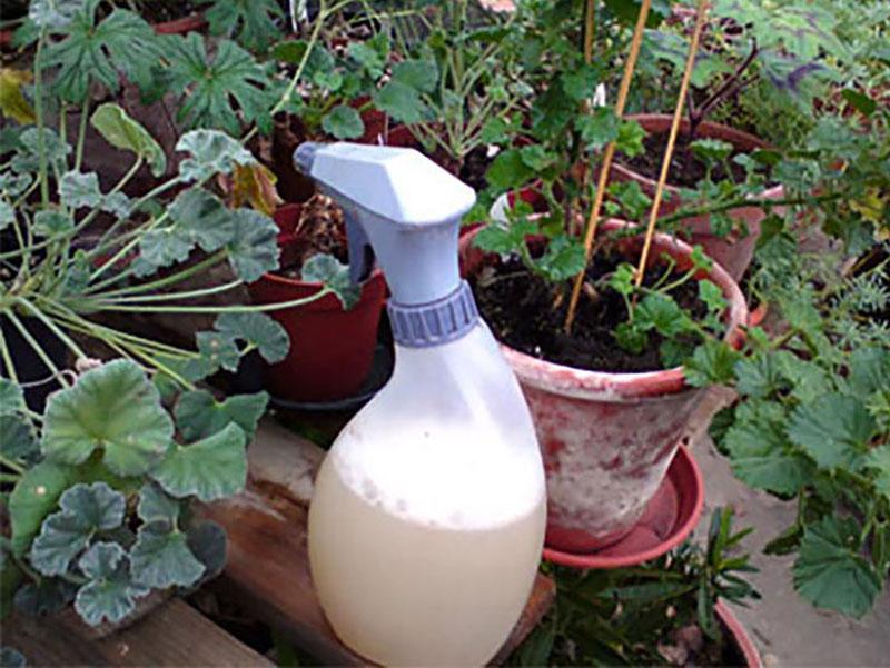 Dusch av medlehavsväxter med såpablandning