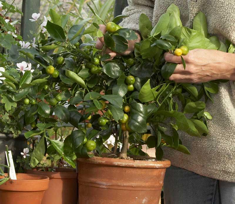 Kontroll av skadedjur på citrusväxt inför vintern