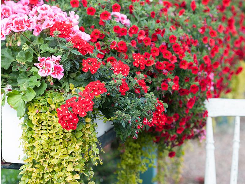 Balkonglåda med petunia, pelargon och verbena