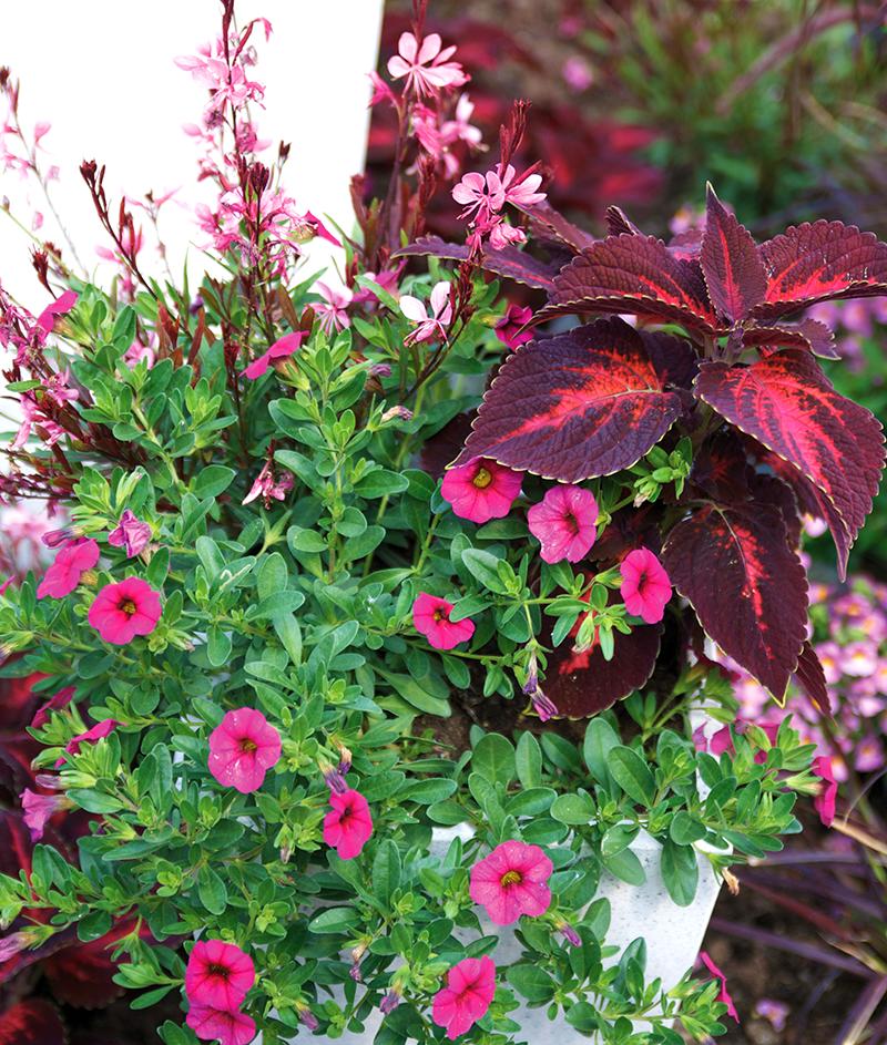 Sommarljus, petunia och palettblad i kruka
