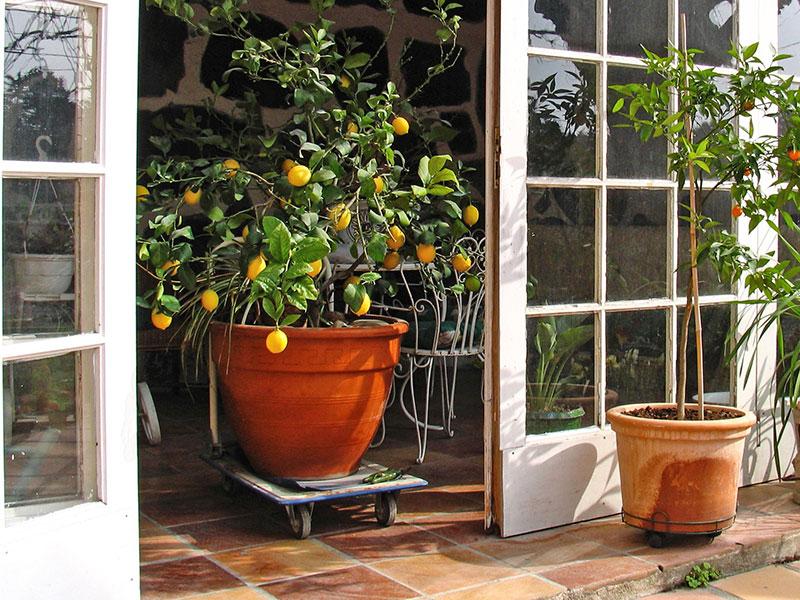 Citronträd i kruka med platta med hjul för övervintring