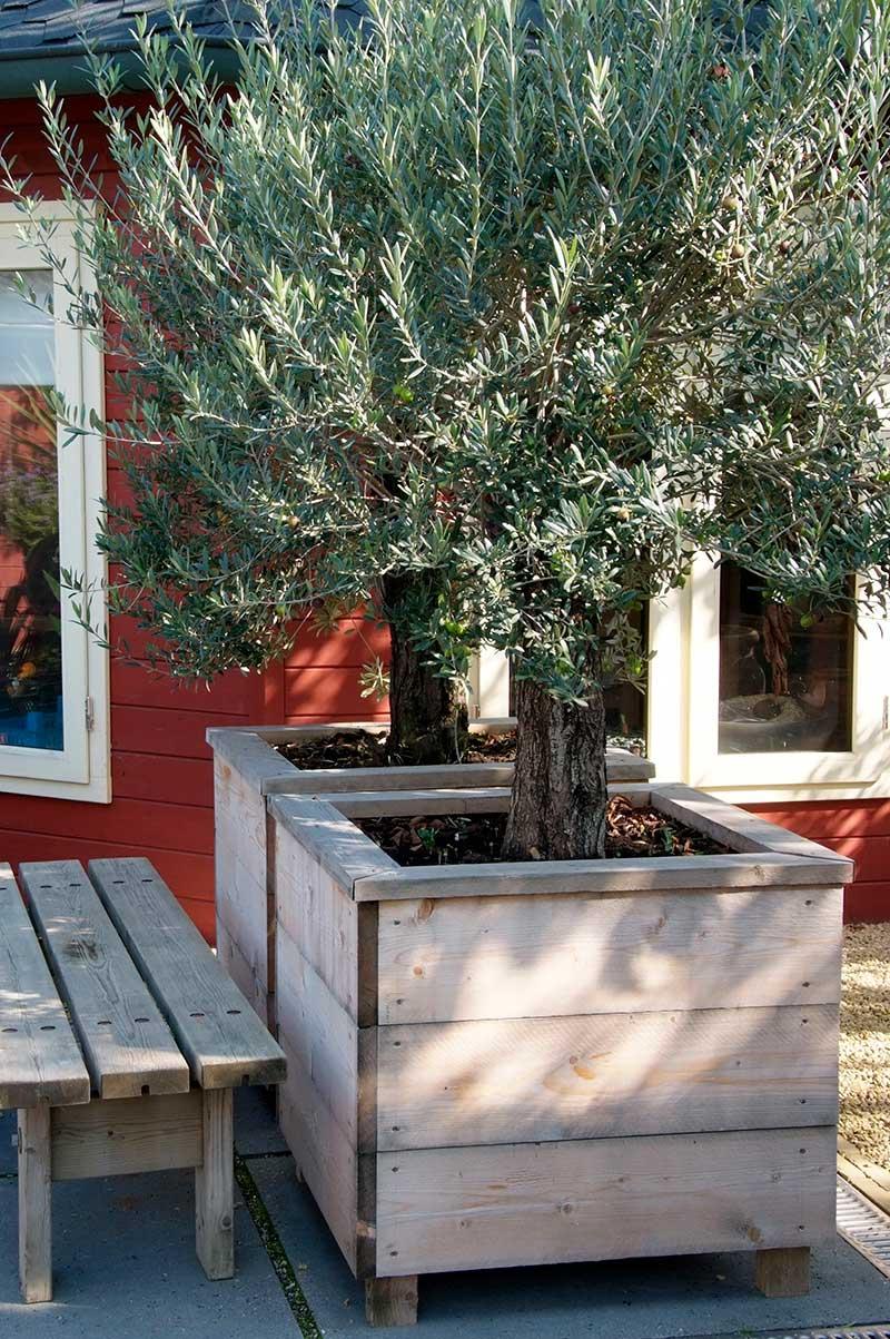 Olivträd på altan i stor kruka