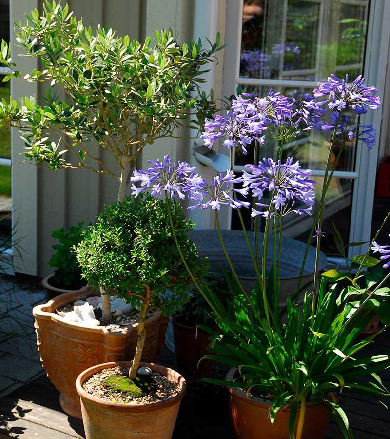 Uteplats med olivträd, myrten och Afrikas blå lilja i kruka