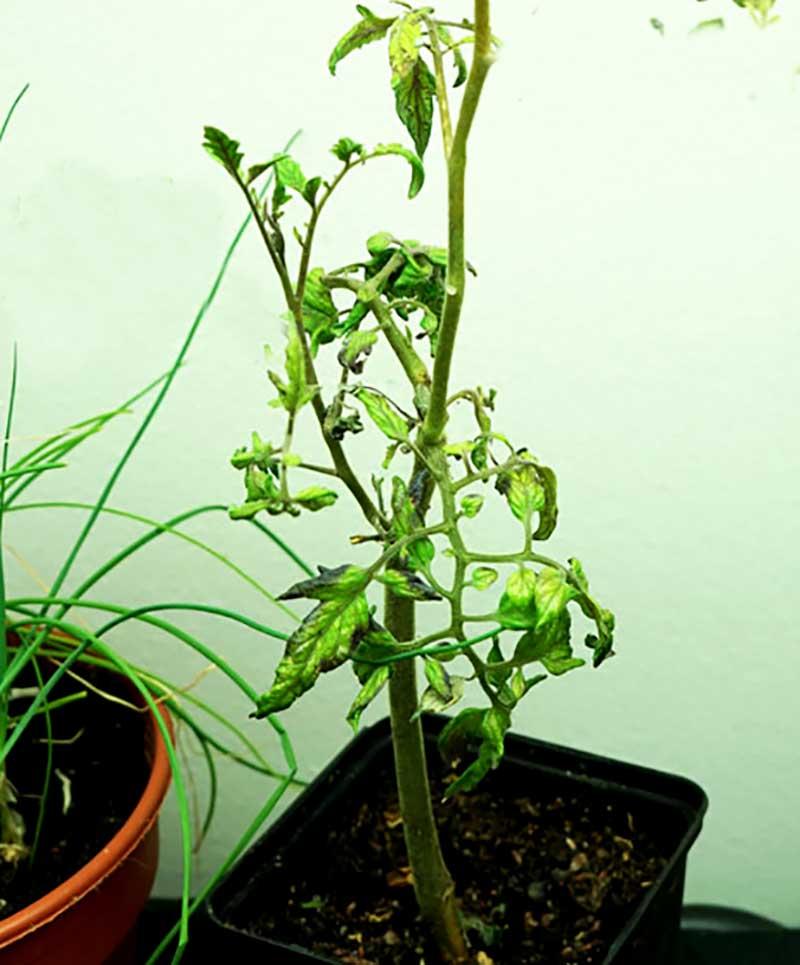 Övervintrad tomatstickling under växtlampa
