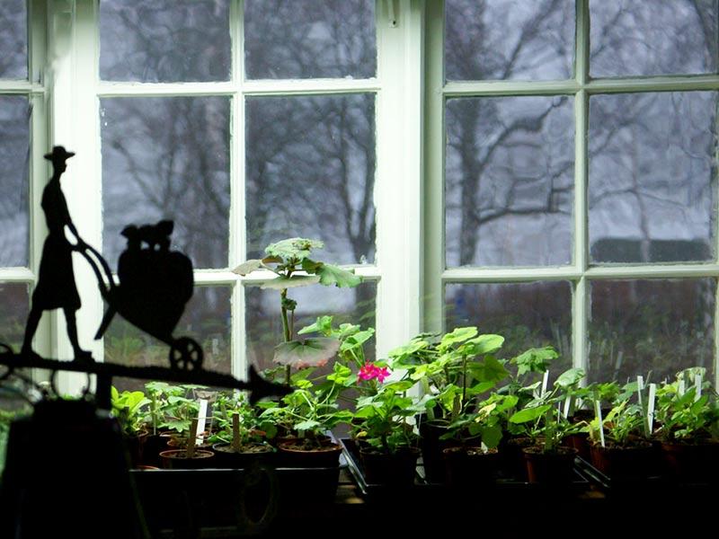Övervintring av pelargoner och sticklingar i fönster med växtlampa