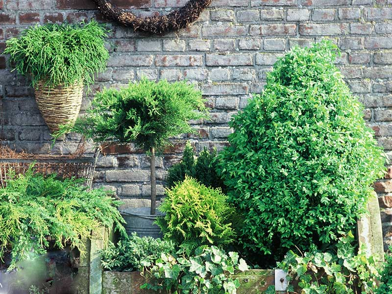 Barrväxter i utekruka på vintern