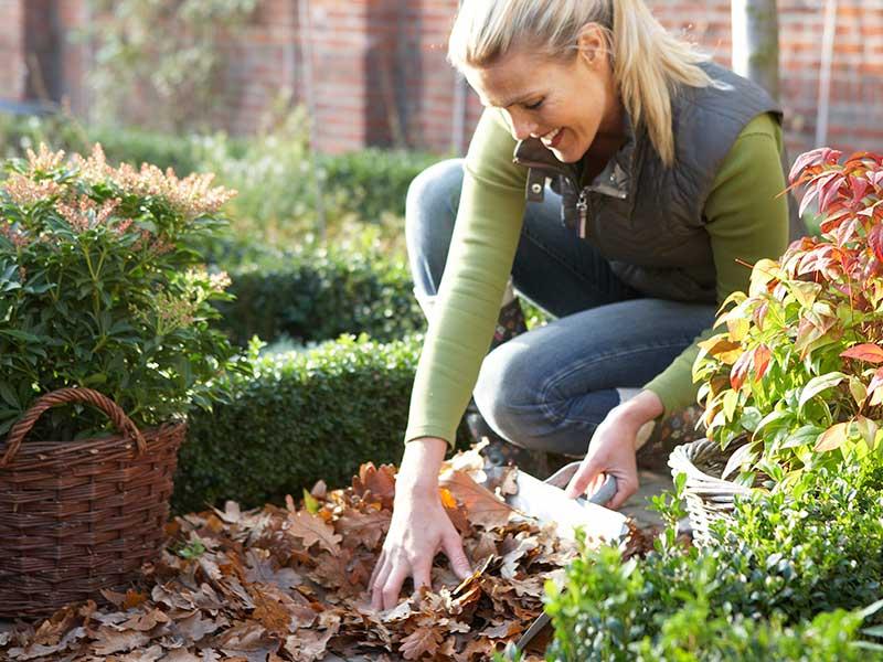 Lövsamling i trädgård för skydd av växter på hösten