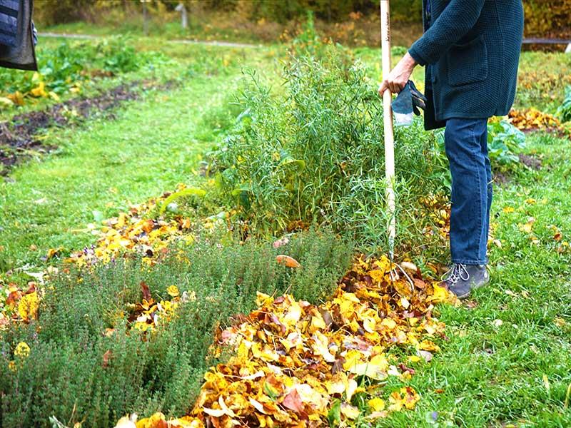 Räfsning av löv som skydd inför vintern