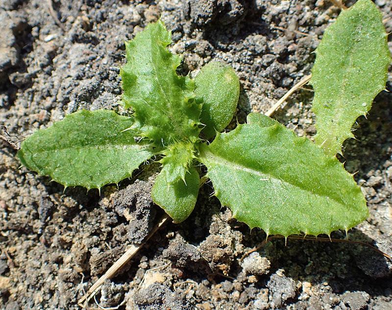 Småplanta av åkertistel ogräs