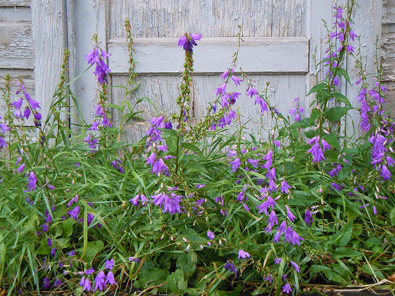 Knölklocka ogräs med lila klockor
